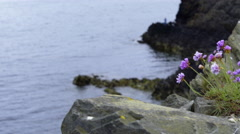 4K Purple flowers on rocks with blurred out seas in the background Stock Footage