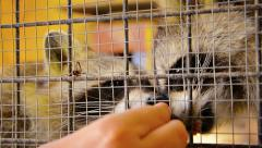 Very Cute Raccoons being Hand Fed in a Cage - stock footage