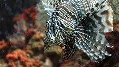 Lionfish underwater close up 1 Stock Footage