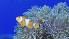 Western clownfish nemo anemone marine life Stock Footage