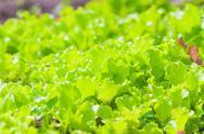 Stock Photo of Green fresh lettuce growing on garden beds