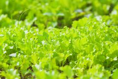 Organic Agriculture: garden beds with lettuce Stock Photos