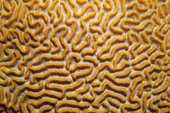 Close up image of symmetrical brain coral Stock Photos