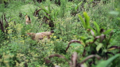 Free village chickens walking through field, medium shot, DOF - stock footage
