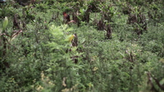 Stock Video Footage of Chickens roaming around village, medium shot, Shallow DOF