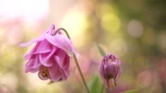 Pink Bell-Shaped Flowers(Aquilegia vulgaris or European Columbine)in Wind Stock Footage