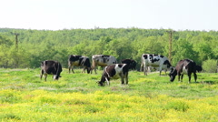 Stock Video Footage of Flock of cow is grazing on meadow, spring