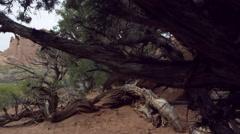 View through the pinyon pine trees. Stock Footage