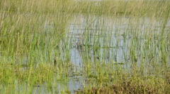 Reed bed in a lake, wind breezing and reflections on water surface Stock Footage