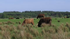 Highland cattle grazing on the border of raised bog area, Fochteloerveen Stock Footage