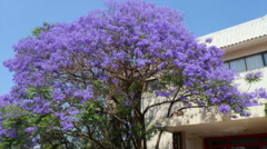 Beautiful Blue Jacaranda Tree Flowers Stock Footage