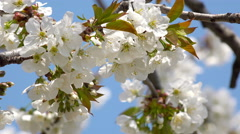 4K Bee and Flower. Bee flower hangs in front of cherry and sits on it. UHD st Stock Footage