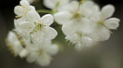 Cherry blossom cereals plan Stock Footage