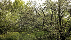 Fluff and blooming apple tree Stock Footage