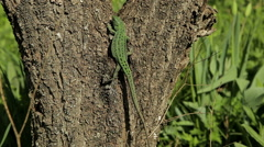 Lizard on the tree Stock Footage