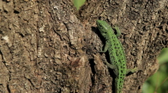 A lizard crawling on a tree Stock Footage