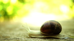Snail (Gastropod Molluscs) Crawling In Nature Stock Footage
