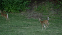 Slow motion of 2 young whitetail deer running. Stock Footage