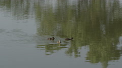 Slow motion view of 3 ducklings swimming in a pond. Stock Footage