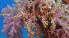 Soft coral tracking smooth Stock Footage