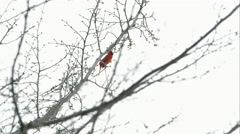 Stock Video Footage of Slow motion static shot of a Cardinal chirping in a tree.