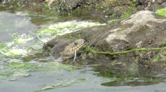 Head Snake River Natrix floats reptile in water on river among green algae Stock Footage