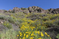 Wild Bush Sunflowers in Thousand Oaks, California. - stock photo