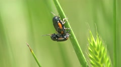 Beetle sitting on a leaf macro Stock Footage