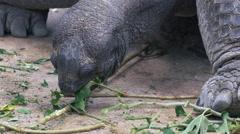 Giant tortoise feeding on twigs - closeup of head - 4k Stock Footage