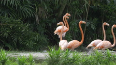 A group of Caribbean flamingos walking, one takes a poo - 4k Stock Footage