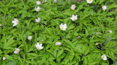 Macro stock footage spring white flowers blossom. Stock Footage