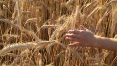 Kid hand touches the ears on a field Stock Footage
