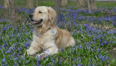 Barking golden retriever labrador on spring lawn Stock Footage