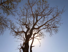 Noon Tree in the African Sun Time-lapse 4k and HD Stock Footage