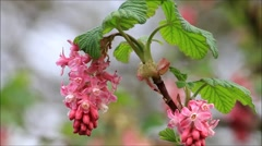 Flowering Currant, spring,  beautiful flower in springtime Stock Footage