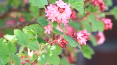 Stock Video Footage of Flowering Currant, spring,  beautiful flower in springtime