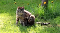 young single tabby cat  sitting in grass and scrapes the fur - stock footage