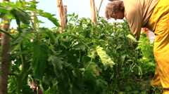 woman hand prune overgrown tomato bush branch in greenhouse - stock footage