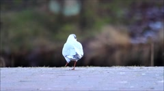 Bird living with disabilities, seagull with one foot Stock Footage