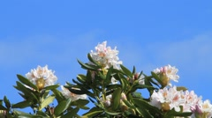 Rhododendron white against a blue sky, copy space Stock Footage
