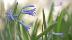 Hyacinthus orientalis purple flower field shallow DOF in the garden 4K 3840X2 Stock Footage