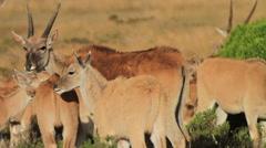 Baby Eland in Herd Stock Footage