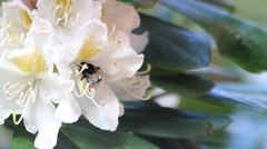 Bee on flower white Rhododendron collects nectar and pollen Stock Footage