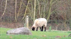 White black sheep grazing in the meadow Stock Footage