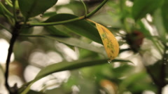 Fast Zoom in to a Black Mangrove Tree focusing on a water drop dangling from a Stock Footage