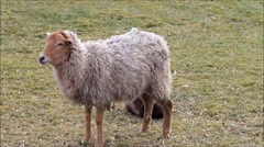 white brown sheep in springtime on the meadow - stock footage