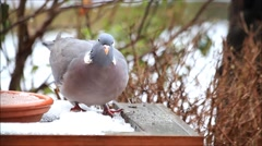 Wood pigeon, big, dove, feeding bird food in snow Stock Footage