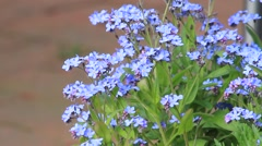 forgot me not flower (Myosotis sylvatica) - stock footage