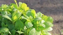 Lemon balm in the garden, copy space, texture Stock Footage