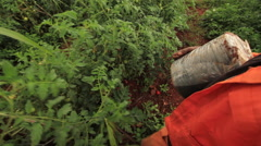 Camera following the movement a farm worker in orange overalls stringing tomato Stock Footage